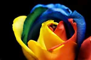 diversity rose